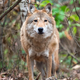 Wolf in autumn forest - PhotoDune Item for Sale