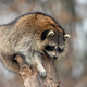 Raccoon on a tree - PhotoDune Item for Sale