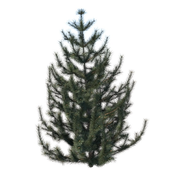 spruce tree - 3DOcean Item for Sale
