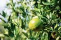 Orange on tree - PhotoDune Item for Sale