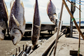 Dry fish of hanging at sunlight - PhotoDune Item for Sale