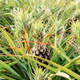 Pineapple on tree in farm - PhotoDune Item for Sale