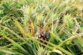 Pineapple on tree in farm - PhotoDune Item for Sale