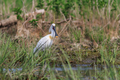 common spoonbill - PhotoDune Item for Sale
