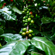 Ripen Coffee fruits on branch ready to harvest - PhotoDune Item for Sale