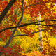 Dark Bark Thick Tree Trunk Branches Fall Color Seasonal Leaves Falling - PhotoDune Item for Sale