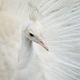 Portrait of a white peacock - PhotoDune Item for Sale