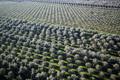 Plantation of olive trees - PhotoDune Item for Sale