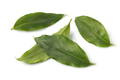 Green cardamom leaves - PhotoDune Item for Sale