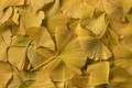 Yellow ginkgo leaves - PhotoDune Item for Sale