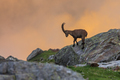 Ibex , Range of Mont Blanc , French Alps - PhotoDune Item for Sale