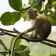 Crab-eating macaque Macaca fascicularis also known as long-taile - PhotoDune Item for Sale