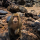 Monkey Beach Thailand Crab-eating macaque Macaca fascicularis al - PhotoDune Item for Sale