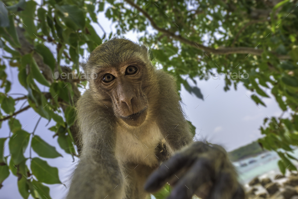 Curious monkey holds camera looking directly into the lens Crab- - Stock Photo - Images