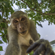 Curious monkey holds camera looking directly into the lens Crab- - PhotoDune Item for Sale
