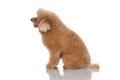 miniature poodle dog isolated - PhotoDune Item for Sale
