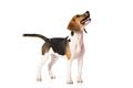 beagle dog isolated on white - PhotoDune Item for Sale