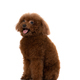 miniature poodle dog isolated - PhotoDune Item for Sale