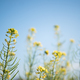 Rapeseed flower branch in blue sky-2 - PhotoDune Item for Sale
