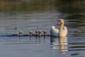 white swan with small chicks - PhotoDune Item for Sale