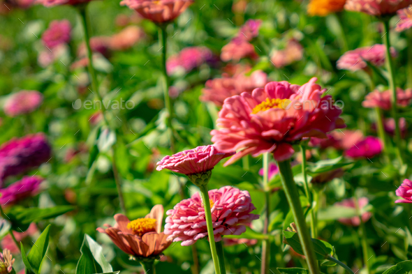Blooming Flowers Zinnia In The Summer Garden On A Sunny Day
