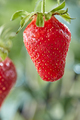 Ripe strawberry on a stalk with a drop of water on a background of greenery. Organic berry - PhotoDune Item for Sale
