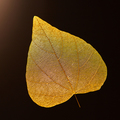 Macro photo of yellow leaf on a black background with copy space. Beautiful natural layout. Flat lay - PhotoDune Item for Sale
