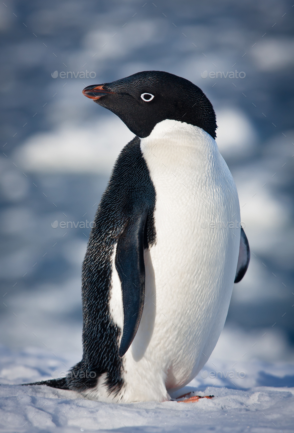 black and white penguin - Stock Photo - Images