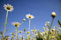 Small spring daisies - PhotoDune Item for Sale