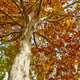 Tree with autumn leaves on golden tone. Lush nature. Horizontal - PhotoDune Item for Sale
