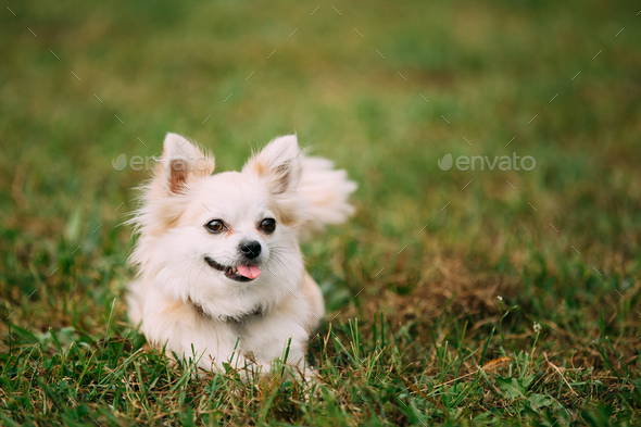 Beautiful Funny Young White Chihuahua Dog Sitting On Green Gr