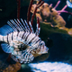 Red Lionfish Pterois Volitans Is Venomous Coral Reef Fish Swimmi - PhotoDune Item for Sale
