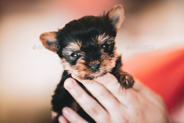 Small Cute Yorkshire Terrier Dog Puppy - Stock Photo - Images