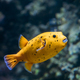 Yellow Blackspotted Puffer Or Dog-faced Puffer Fish Arothron Nig - PhotoDune Item for Sale