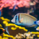 Kole Tang Or Spotted Surgeonfish Or Goldring Surgeonfish Or Yell - PhotoDune Item for Sale