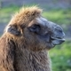 Camel, a portrait  - PhotoDune Item for Sale