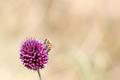 Bee on a purple flower - PhotoDune Item for Sale