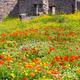 Field of flowers in Pompeii, Italy. - PhotoDune Item for Sale