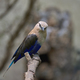 Blue-bellied roller (Coracias cyanogaster) - PhotoDune Item for Sale