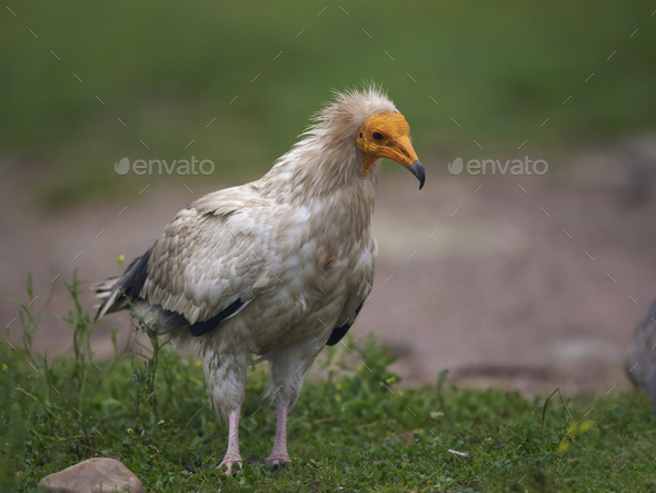 Egyptian vulture (Neophron percnopterus) - Stock Photo - Images