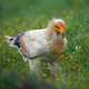 Egyptian vulture (Neophron percnopterus) - PhotoDune Item for Sale