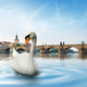 Swan in Prague - PhotoDune Item for Sale