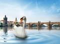 Swan in Prague - PhotoDune Item for Sale