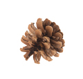 Dry cone of pine. Macro. - PhotoDune Item for Sale