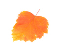 Leaf of hawthorn close-up. - PhotoDune Item for Sale