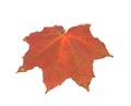 Leaf of maple close-up. - PhotoDune Item for Sale