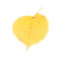 Leaf of lime tree close-up. - PhotoDune Item for Sale