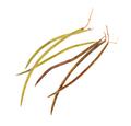 Seedpod of catalpa. - PhotoDune Item for Sale