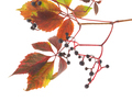 Branch of the wild grapes. - PhotoDune Item for Sale