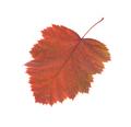 Leaf of hawthorn close-up. Macro. - PhotoDune Item for Sale